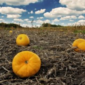pumpkins in the field - photo by darko ivancevic