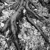 strong roots - photo by darko ivancevic